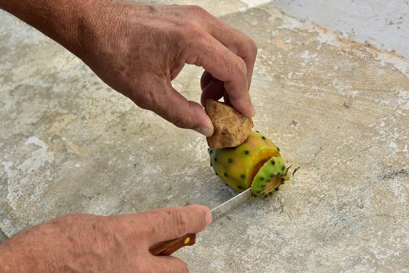 Paring a prickly cactus fruit in EL Maestrat