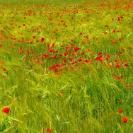 Poppies and wildflowers of El Maestrat, Spain