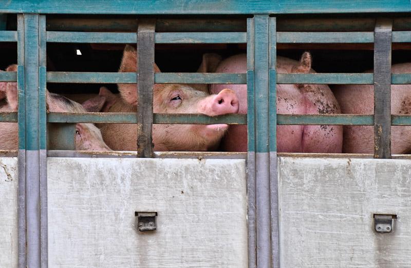 Abattoir for pigs