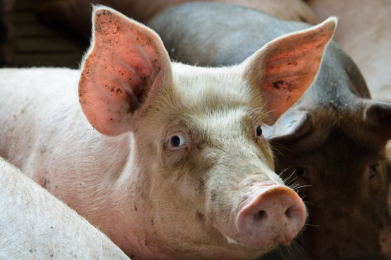 Knowing eyes of a pig