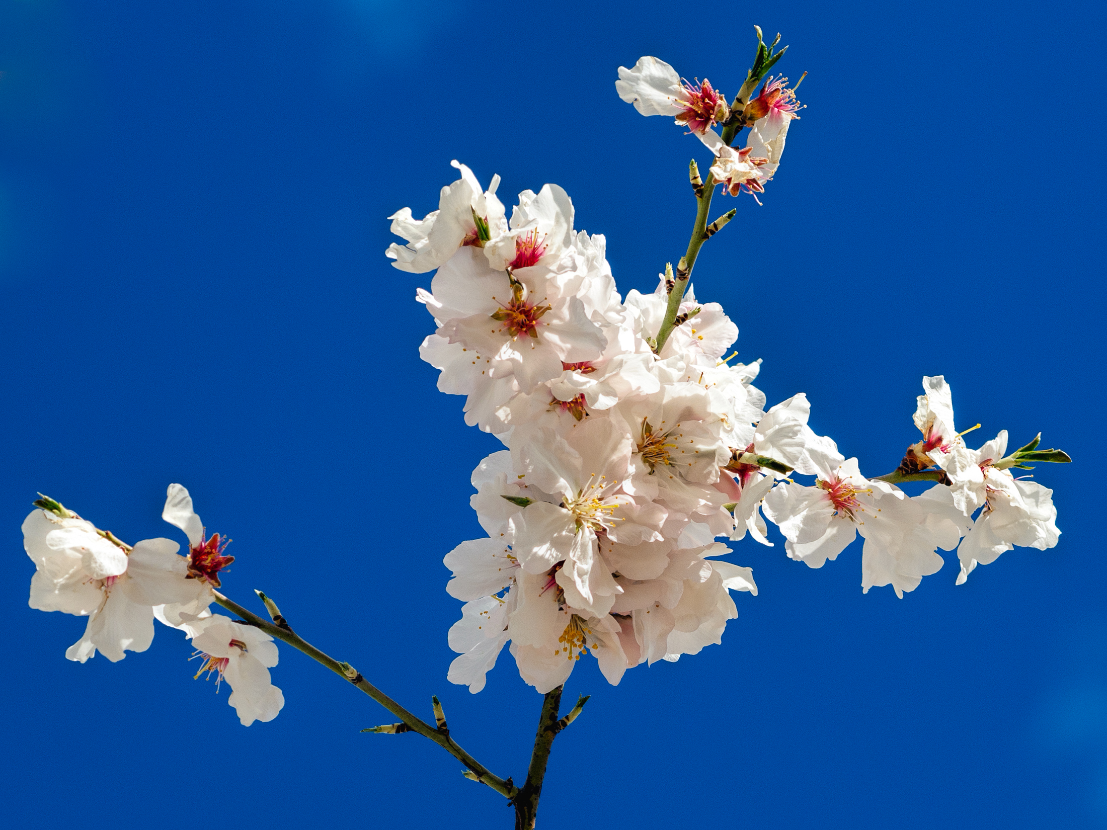 Almonds bloom in February, El Maetrat