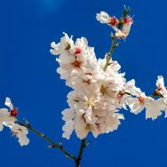 There is nothing as beautiful as almond and cherry blossoms in full bloom
