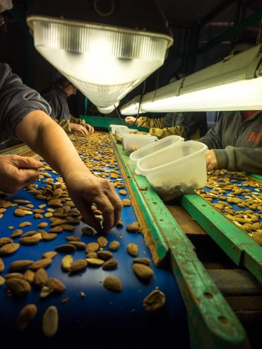 Sorting the almonds by hand to remove any that are less than perfect