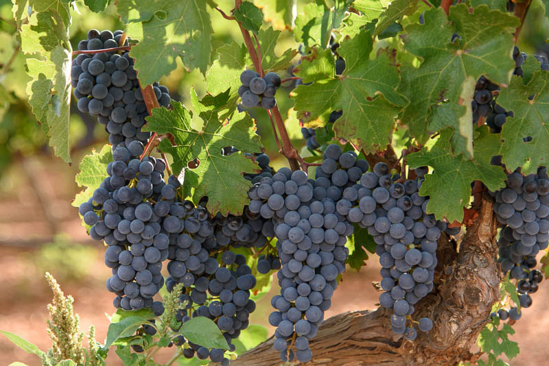 plump juicy spanish grapes