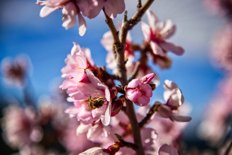 early almond blossom with bee in El Maestrat