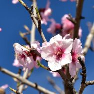 Almond blossom in early spring