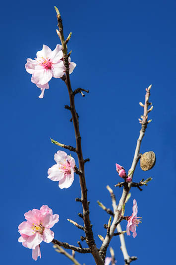 early almond blossom and old almond in El Maestrat
