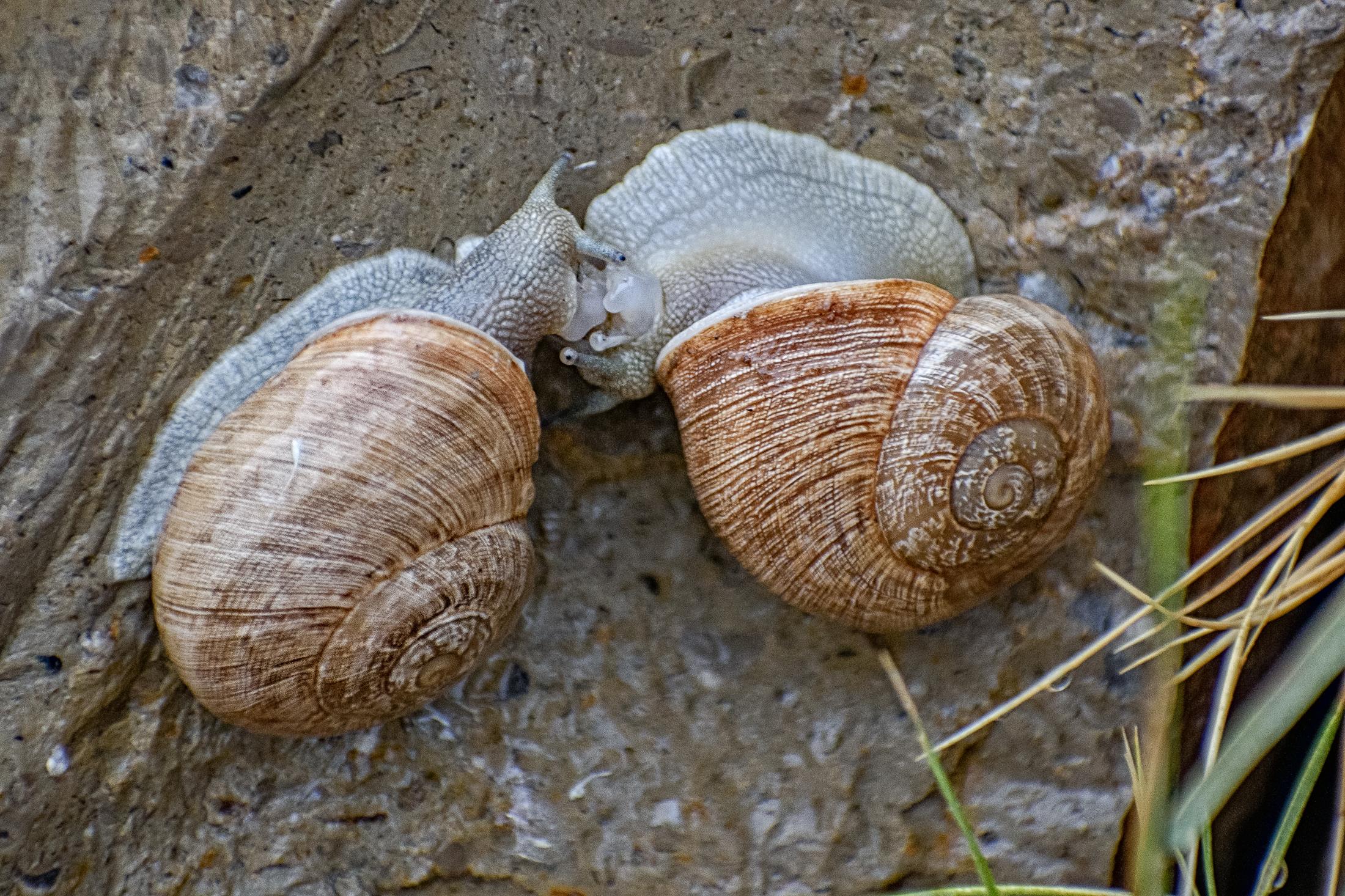 Love making, snail way, Spain
