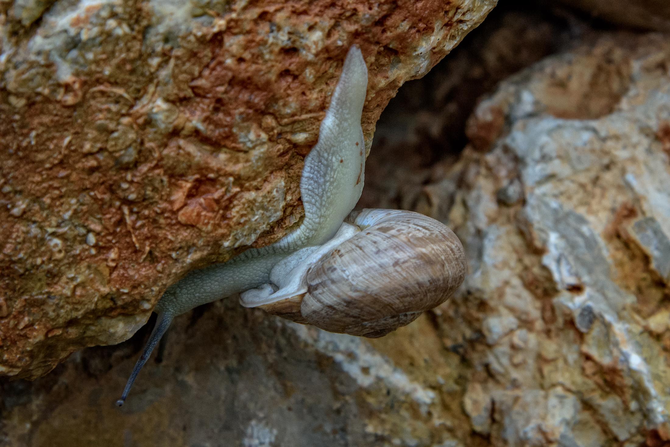 White snail, El Maestrat