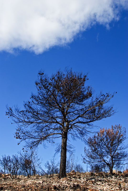 A lone black tree stands after a fire in Castellon that destroyed 6000 hectares