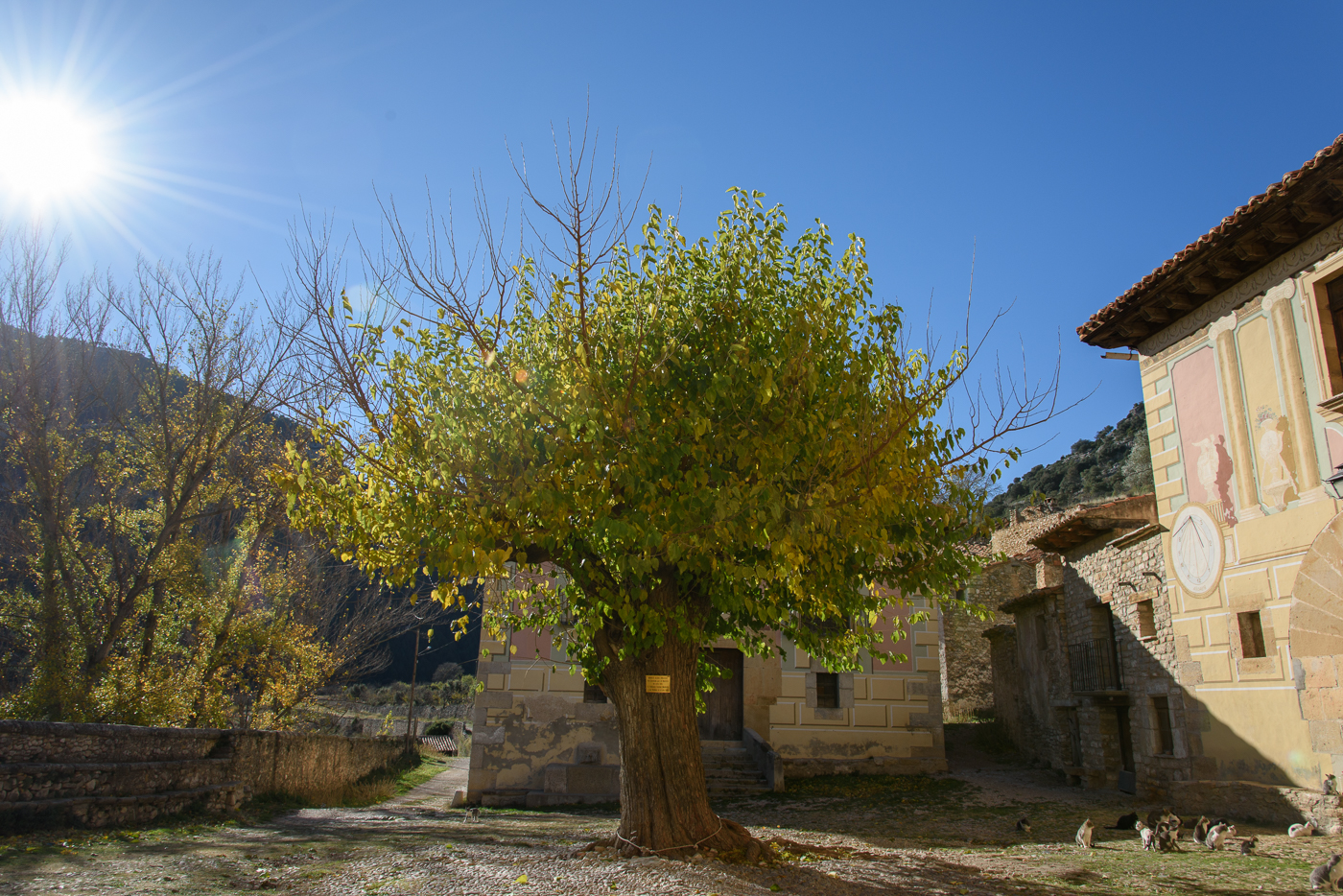AN ancient tree in La Estrella