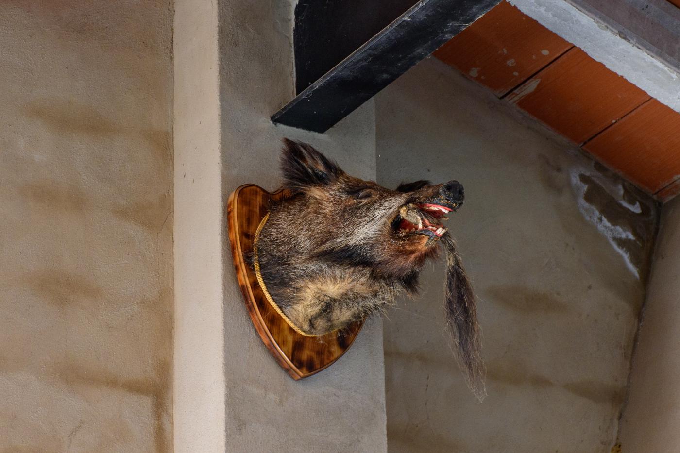 Stuffed wild boar head, Spain