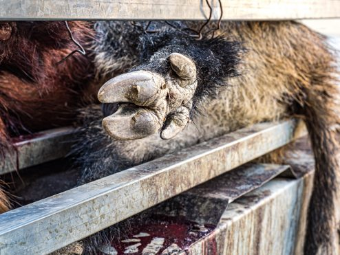 A paw on a trailer for of recently hunter wild boar in Alt Maestrat, Spain