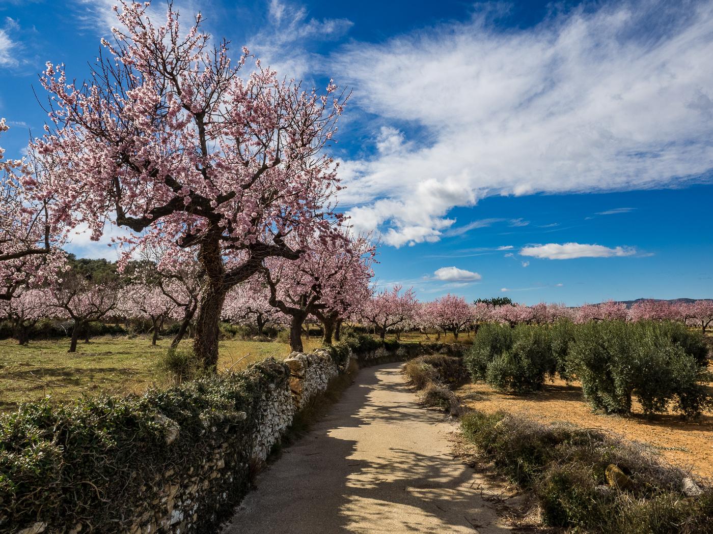 Almond blossoms in spring, El Maestrat, SPain