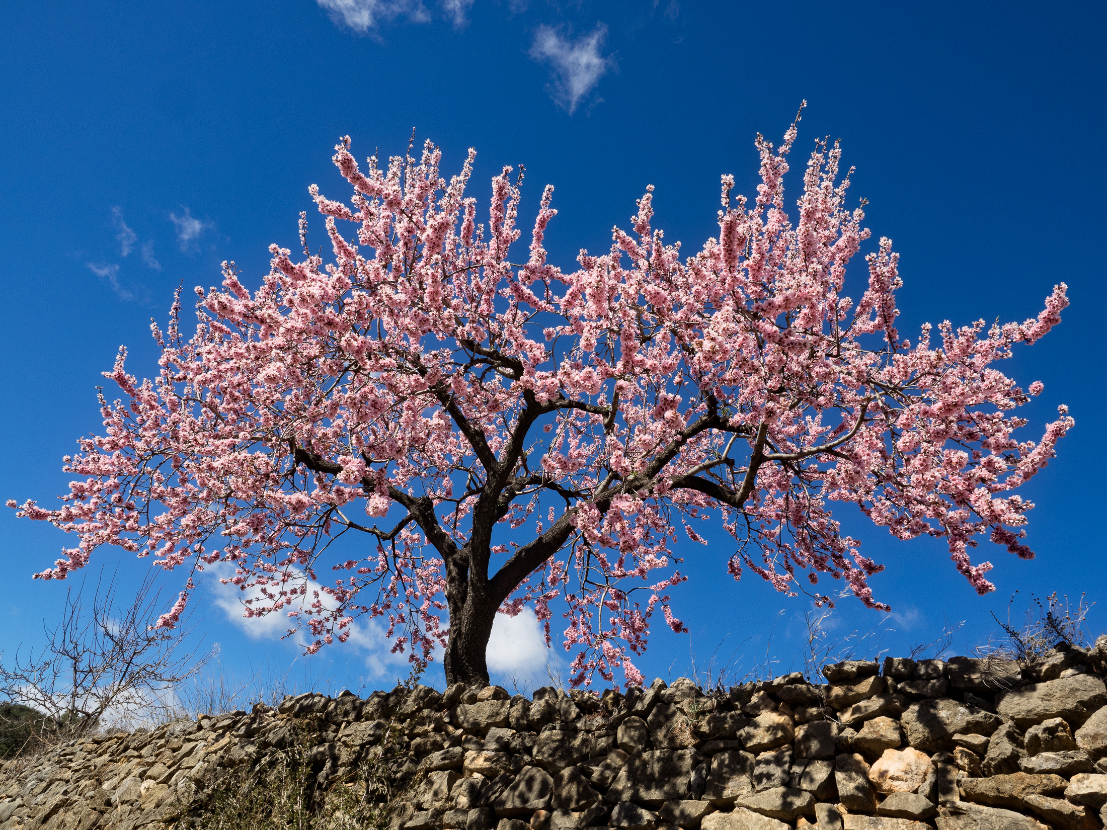 I absolutely adore the almond trees, but did not realise that I am allergic to them