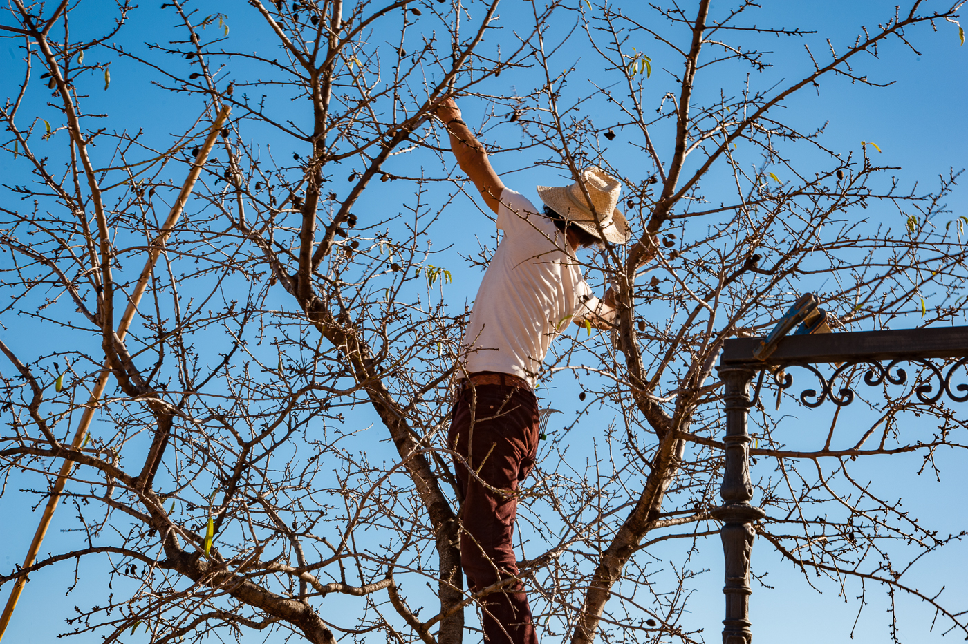 Pruning a too high tree and removing its last forgotten fruit