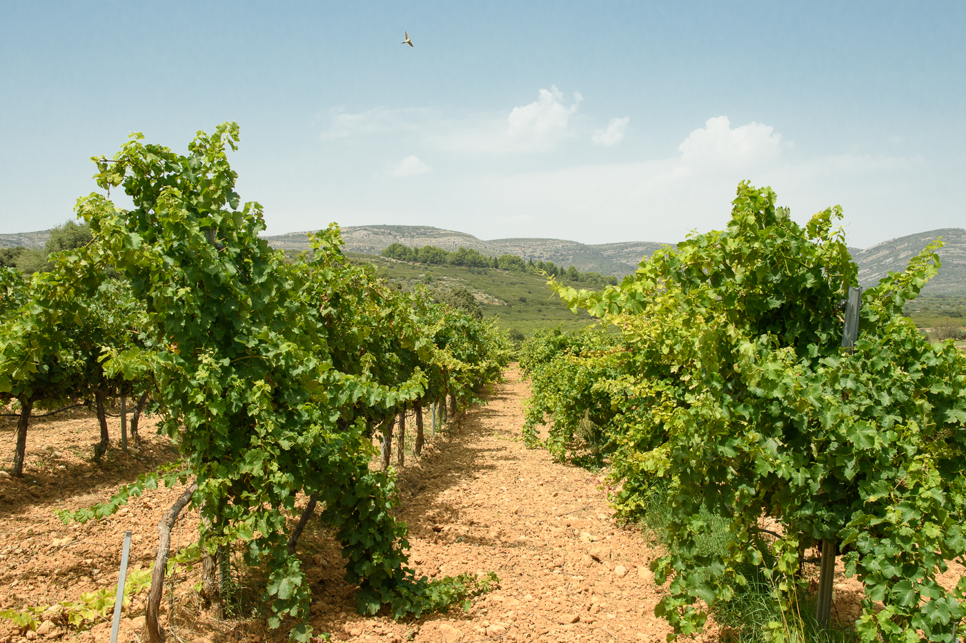 The vines and a soaring bird