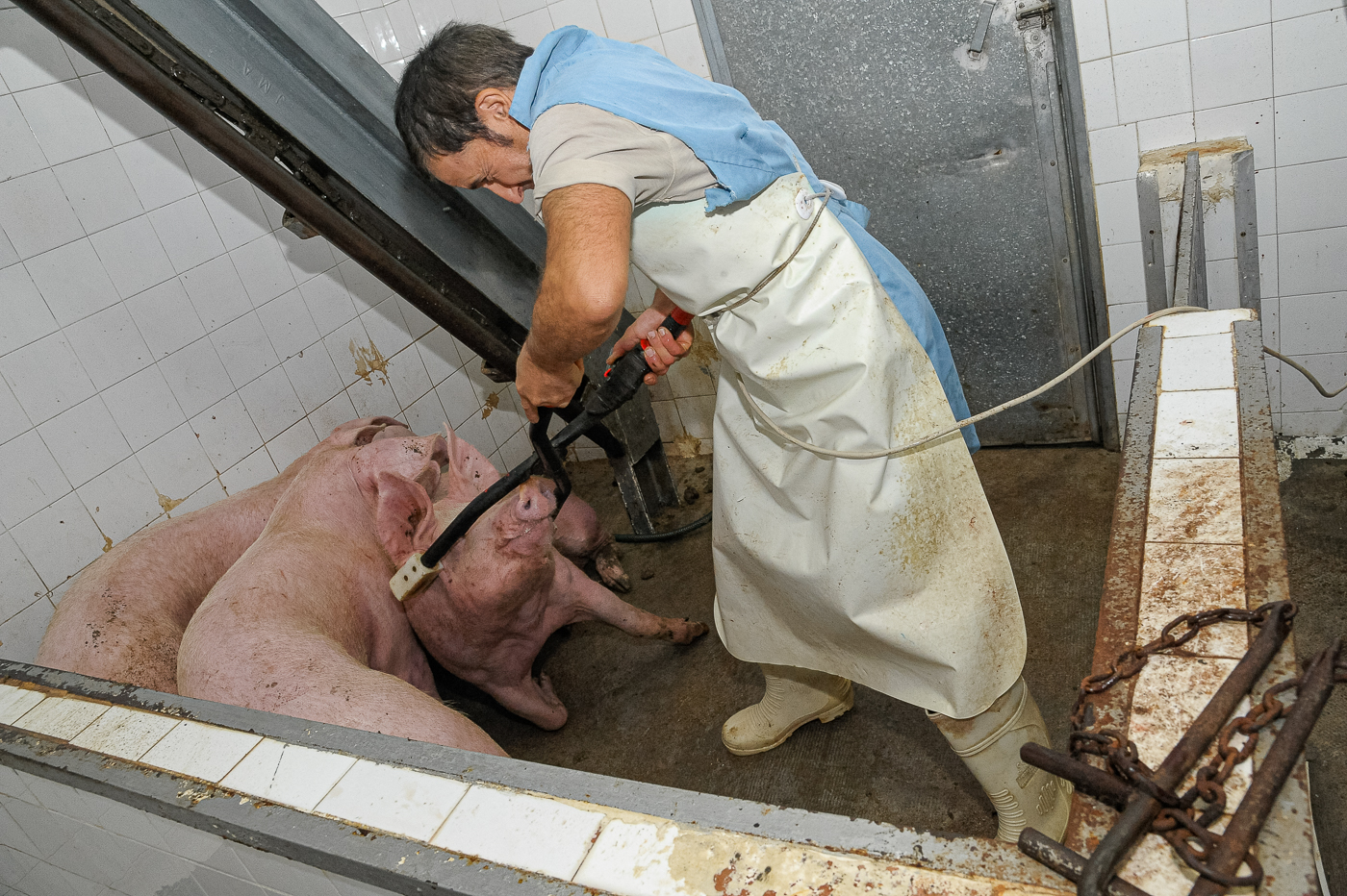 Stunning the pigs was the only time there was a struggle between pig and man