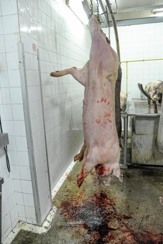 Pig hanging in wait for more