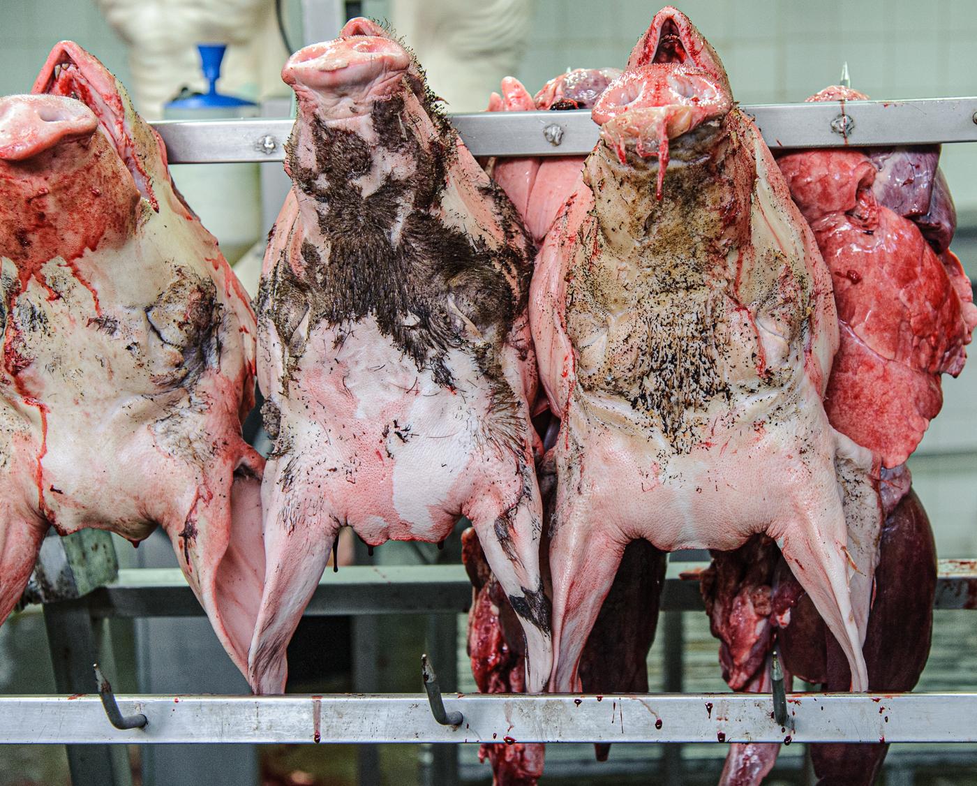 Pig heads Spain